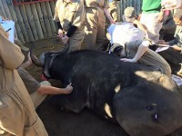 Veterinary Students Experience Buffalo Immobilisation